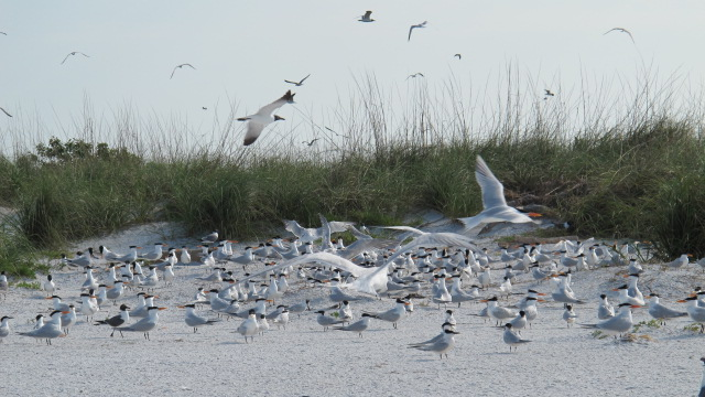 Royal Tern Colony